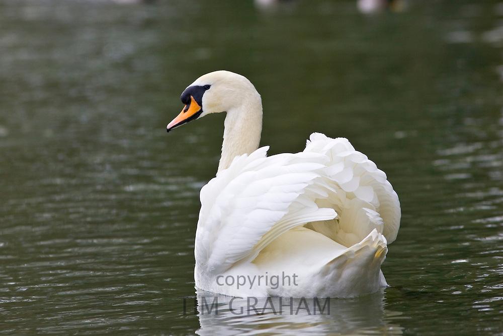 Mute Swan,  River Windrush,  Burford, UK. Feral birds may be at risk from Avian Flu bird flu virus