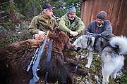 Bear hunting dog (Norwegian elkhound), Selbu in Norway. Norsk elghund grå på bjørnejakt i Selbu.