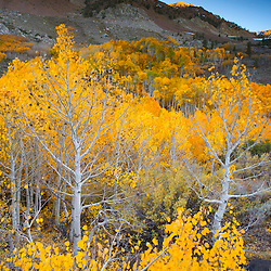 Aspens in autumn in the Eastern Sierra Nevada Mountains near Bishop, CA.