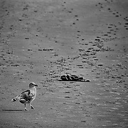 This gull is heading down a long stretch of beach in Cape Ann, MA.  I love how the stones and tracks lead off as well as how the bird is heading to a bit of discarded clothing without actually looking where it is going!