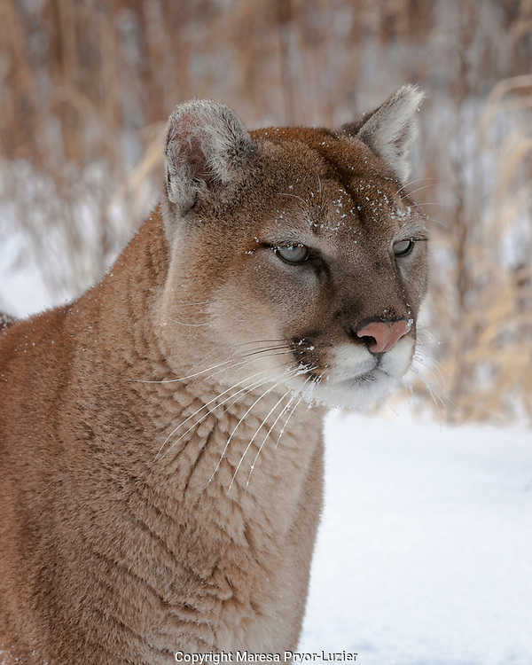 Mountain lion in snow,<br /> Felis concolor,<br /> captive situation