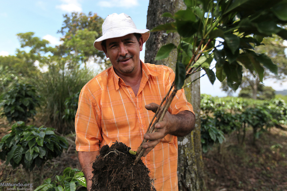 Mario Alberto Delgado Villalobos, member of COOPELIBERTAD, plants young coffee trees. COOPELIBERTAD, Heredia, Costa Rica. September 8, 2012.