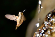 A hummingbird drinks from Huntsmen Spring along Marshall Gulch Trail, Mount Lemmon, Coronado National Forest, Sonoran Desert, Summerhaven, Arizona, USA.