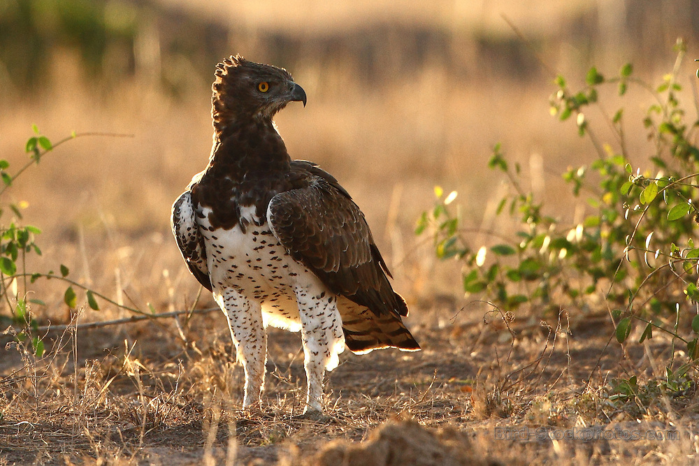 Martial Eagle, Polemaetus bellicosus, by Markus Lilje