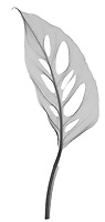 X-ray image of a Swiss cheese philodendron leaf (Monstera obliqua, black on white) by Jim Wehtje, specialist in x-ray art and design images.