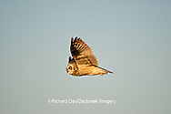 01113-009.01 Short-eared Owl (Asio flammeus) in flight, Prairie Ridge State Natural Area, Marion Co., IL