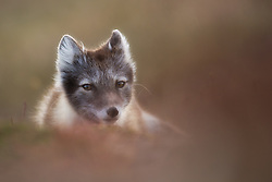 Arctic Fox (Alopex lagopus) curious young fox, Spitsbergen, Svalbard