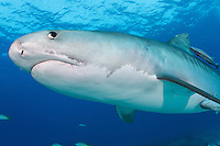 Tiger Shark<br /> <br /> Shot in Bahamas