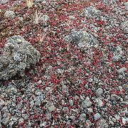 Tiny red Rose Crown flowers amongst the small pebbles of the igneous stone from the former volcano Mt Kilimanjaro.
