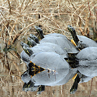 Yellowbelly Sliders (Trachemys scripta) basking on log on cool spring day in Pocosin Lakes National Wildlife Refuge. North Carolina