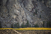 Vines and rock in the Osoyoos BC desert