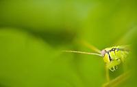 Marmella spec grasshopper male, National Park Djerdab, Serbia