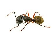 (Eastern) black carpenter ant (Camponotus pennsylvanicus)<br /> United States: Alabama: Tuscaloosa Co.<br /> Tulip Tree Springs off Echola Rd.; Elrod<br /> 16-Apr-2017<br /> J.C. Abbott #2935