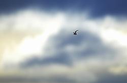Singing Temminck's Stint in flight