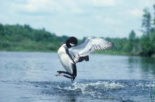 Common Loon, (Gavia immer) Portrait of adult displaying Penguin dance. Summer. Northern Minnesota.