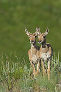 After a gestation period of approximately eight months, pronghorn does find a secluded spot to give birth to their fawns, most commonly twins.  Fawns remain hidden for the first two weeks of their lives and rejoin their mother once they are able to keep up with the herd.