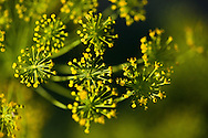 Study of the dill flower after my dill went to seed.  April 5 2015