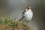 "The Snow Bunting,Plectrophenax nivalis, sometimes colloquially called ""snowflake"", is a passerine  bird in the bunting family Emberizidae. It is an arctic specialist, with a circumpolar Arctic breeding range throughout the northern hemisphere. These photos are taken in Grimsey, Iceland"