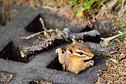 This eastern chipmunk (Tamias striatus) built its home below a sewer grate in Mount Auburn Cemetery, Cambridge, Massachusetts.  They generally construct underground nests with extensive tunnel systems, and several entrances.  To hide the construction of its burrow, the eastern chipmunk carries soil away from its hole in its cheek pouches.  <br /> <br /> The eastern chipmunk is the sole living member of the chipmunk subgenus Tamias, and is found only in eastern North America.  The name &quot;chipmunk&quot; is derived from the Algonquian language meaning &ldquo;one who descends trees headlong.&rdquo;  <br /> <br /> The eastern chipmunk reaches 30 cm (12 in) in length including the tail, with a weight of 66&ndash;150 g (2.3&ndash;5.3 oz).  Interestingly, it has two fewer teeth than other chipmunks and four toes each on the front legs, but five toes on each of the hind legs.  They are mainly active during the day, consuming bulbs, seeds, fruits, nuts, green plants, mushrooms, insects, worms, and bird eggs.  <br /> <br /> The eastern chipmunk leads a solitary life, except during mating season. Females usually produce one or two litters of three to five young, usually from February to April and/or June to August. On average, eastern chipmunks live three or more years in the wild, although in captivity they may live up to eight years.
