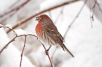 A male House Finch tries to crack a seed it found after a December snow storm.