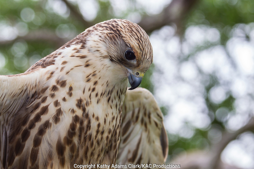 Saker Falcon,  Falco cherrug, ranges eastern Europe to Asia, captive, perched