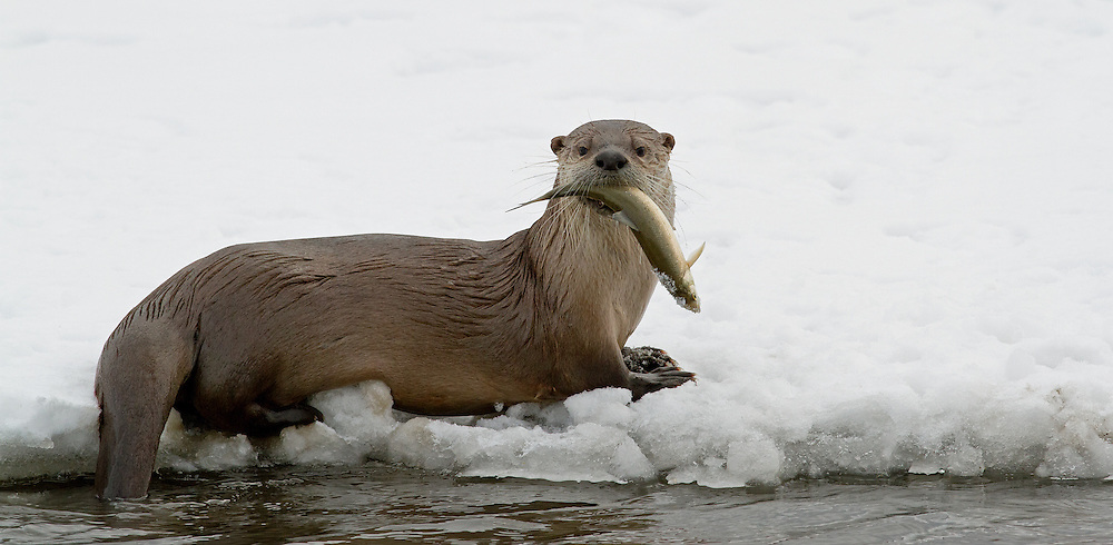 River otters eat mainly aquatic animals such as fish, turtles, crayfish and crabs. When hunting, the otter uses its long whiskers to detect prey in the dark water. Once caught, larger prey animals, like fish, are eaten on land.