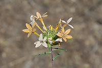 The large-flowered collomia is a member of the phlox family that is associated with dry soils and often mountain slopes from mid to low elevation. Found throughout most of the western states and north into British Columbia, it is easily recognizable by the (usually) salmon-orange flowers with blue pollen on its five anthers. This one was found growing on a hilly slope among ponderosa pines near the Columbia River in rural Douglas County, Washington.