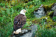 Alaska. Unalaska. Bald Eagle, (Haliaeetus leucocephalus) sits in a field of green fireweed probably looking for rodents.