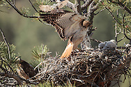 Adult male red-tailed hawk lands on nest near downy nestling while adult female watches from branch below and western kingbird makes a pass above the male in an instinctive defense of its own nest or territory, © 2011 David A. Ponton