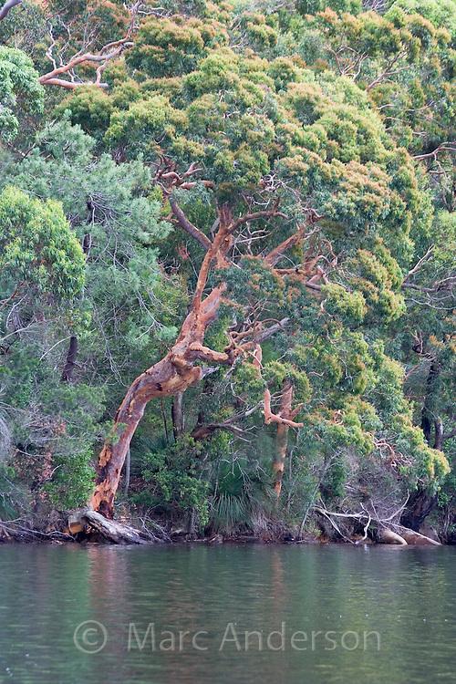 Towering Eucalytus tree on the banks of the Hacking River, Royal National Park, Australia