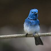 The black-naped monarch or black-naped blue flycatcher (Hypothymis azurea) is a slim and agile passerine bird belonging to the family of monarch flycatchers found in Southeast Asia.