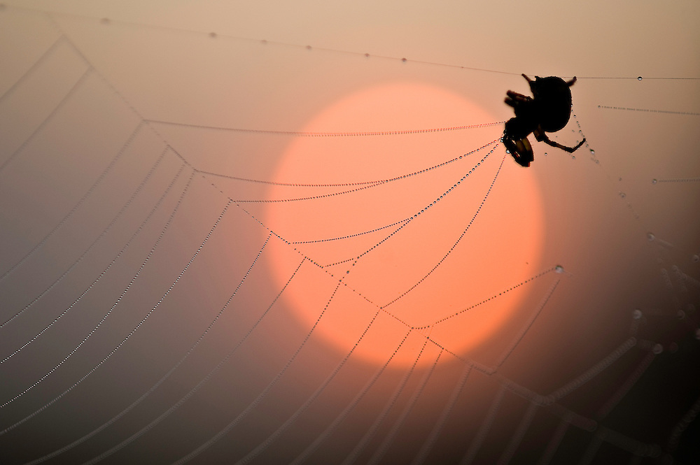 Spider in its net at dusk,  Hortobagy National Park, Hungary