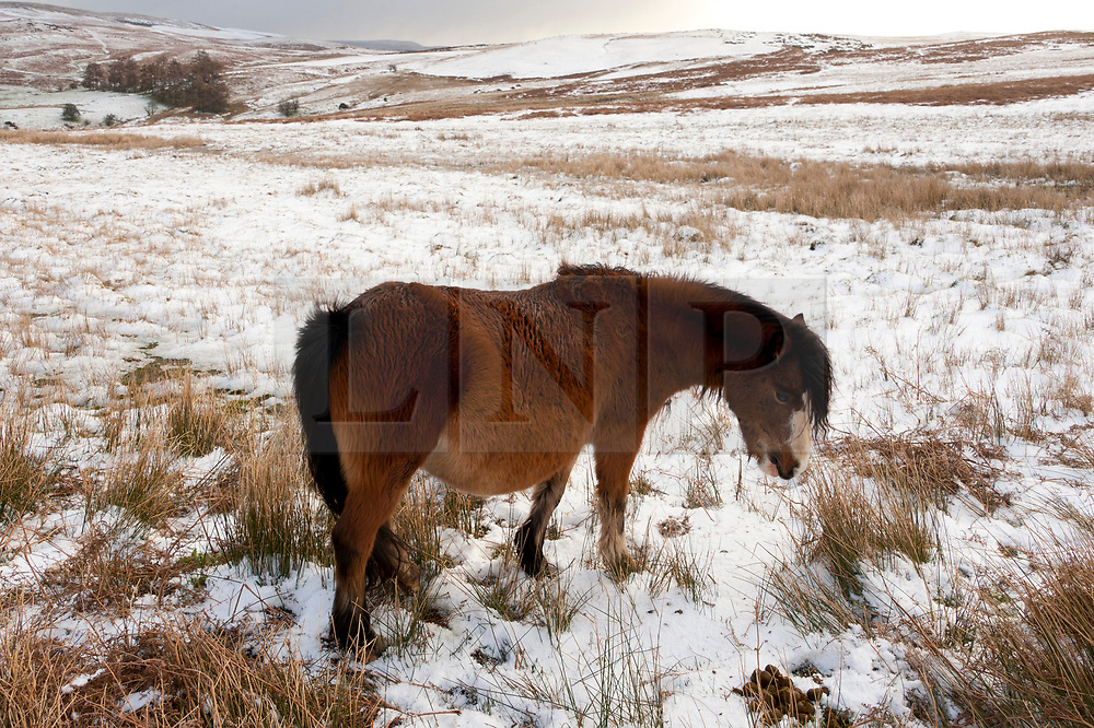 © Licensed to London News Pictures. 11/03/2019. Mynydd Epynt, UK. Welsh mountain ponies are seen in a wintry landscape on the Mynydd Epynt moorland after snow fell on high land in Powys, Wales. Photo credit: Graham M. Lawrence/LNP