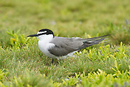 Gray-backed Tern photos