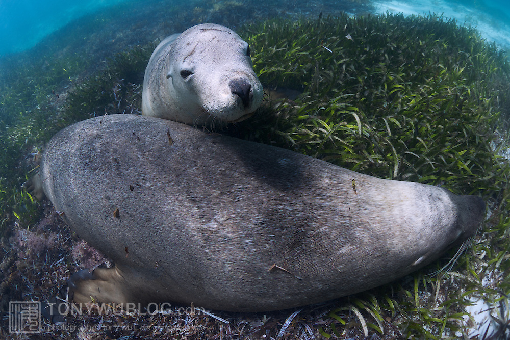 A pair of sea lions crashed out on a bed of seagrass after a session of play fighting and roughhousing. The one looking at the camera is a juvenile. The individual lying down is a mature bull. Note the scars on the smaller sea lion's head, which may be a result of tussling with other sea lions.