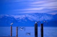 Seagulls.Winter.Lake Tahoe, CA