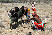 Kenya, Masai Mara, Masai (Also Maasai) Tribesmen an ethnic group of semi-nomadic people. Maasai men bleeding a cow to produce the Blood Milk they drink.