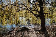 A weeping willow at the Pool in Central Park.