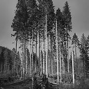 Pines, Glen Garry