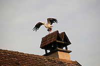 stork landing at teh Auberge de L'Ill, the hotel restaurant of the Haeberlin family in Illhausern, Alsace