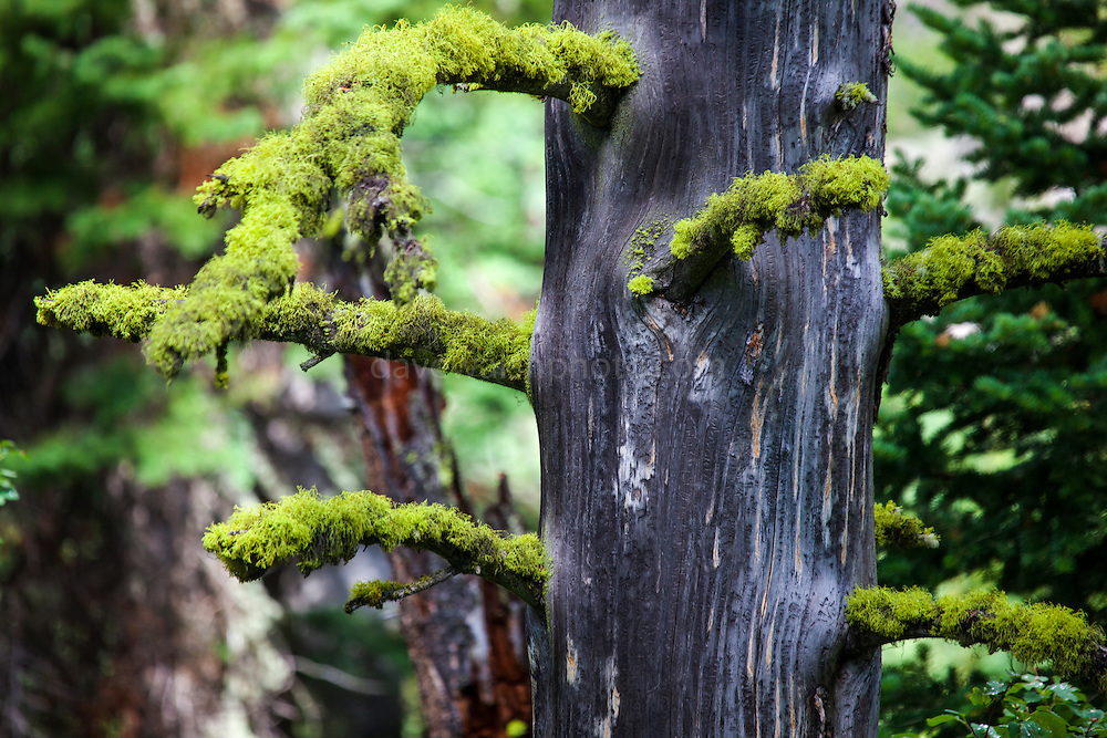 Tree moss, Jenny Lake Trail, at Grand Teton National Park, Wyoming