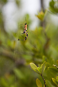 Golden Orb female spider with small fly, Weedon Island Preserve, St Petersburg FL