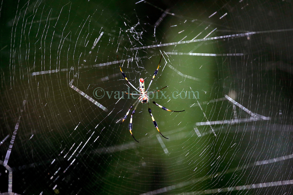 01 June 2015. Jean Lafitte National Historic Park, Louisiana.<br /> A banana spider in the swamp at the Barataria Preserve wetlands south or New Orleans.<br /> Photo&copy;; Charlie Varley/varleypix.com