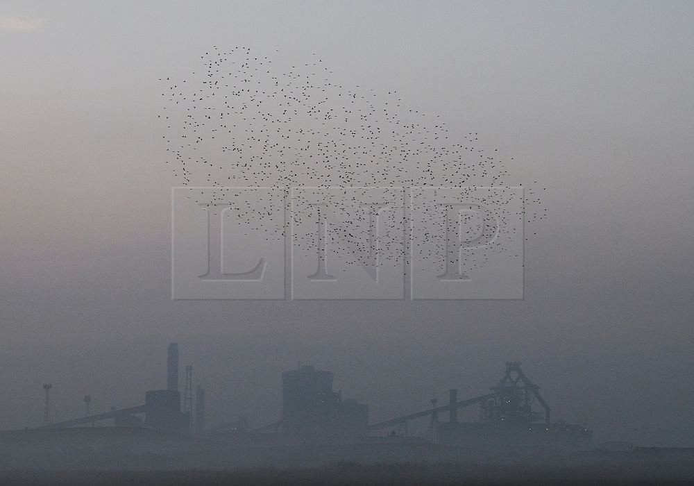 © Licensed to London News Pictures.02/11/15<br /> Redcar, UK. <br /> <br /> An incredible acrobatic display by Starlings called a murmuration is seen over Coatham Marshes close to the SSI steel blast furnace in Redcar this evening.<br /> <br /> Photo credit : Ian Forsyth/LNP