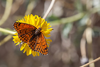 Chlosyne acastus neumoegeni (Sagebrush Checkerspot) at Bob's Gap, Los Angeles Co, CA, USA, on Brittlebush 03-Oct-15