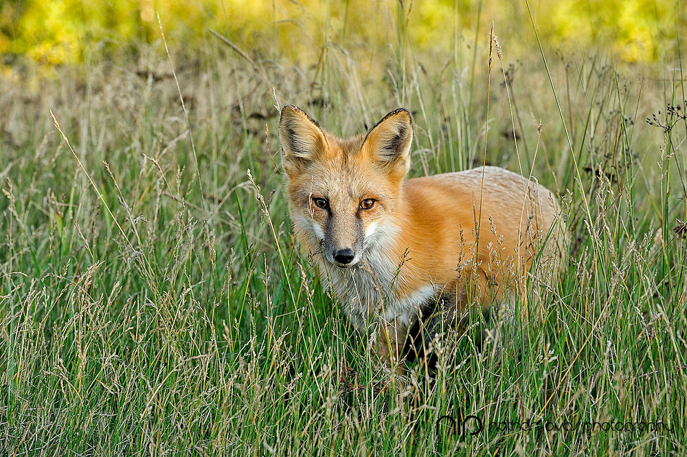 Red Fox (Vulpes vules) standing in tall green and yellow grass;  Minnesota in wild.