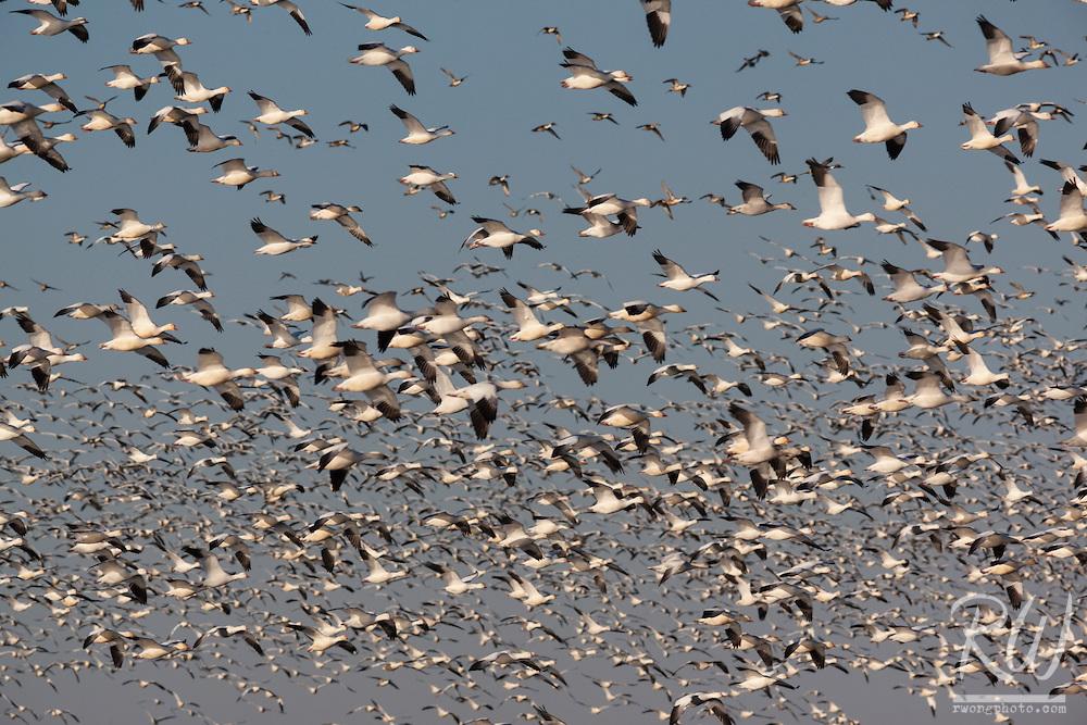 Birds in Flight, Merced National Wildlife Refuge, California