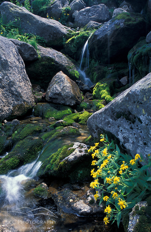 Water tumbles down the Great Gulf headwall.  Arnica mollis.  White Mountains National Forest. Mt. Washington, NH