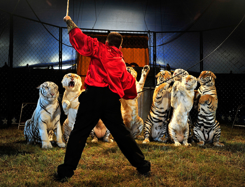 Tiger tamer Dominick Giannino cracks his whip to get a group of tigers to listen to his commands as the Cole Brothers Circus of the Stars Big Top Tent comes to Oconee Heritage Park in Oconee County, Ga. on Tuesday, Sept. 14, 2010.