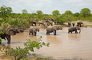 Group of elephants (Loxodonta africana) in the water in Kruger National Park, South Africa. http://www.gettyimages.com/detail/photo/group-of-elephants-drinking-water-south-high-res-stock-photography/92063832
